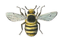 Shrill Carder Bee II