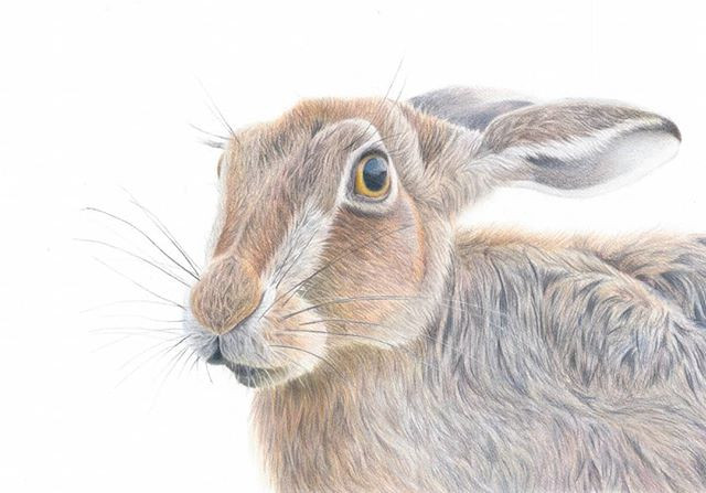 Hare study coloured pencil drawing