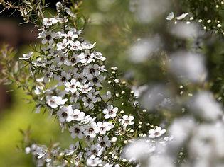 New-Zealand-Pure-Manuka-Plant.jpg