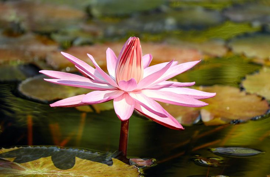water-lily-2504842__480.jpg