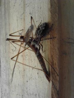 Spider taking lunch