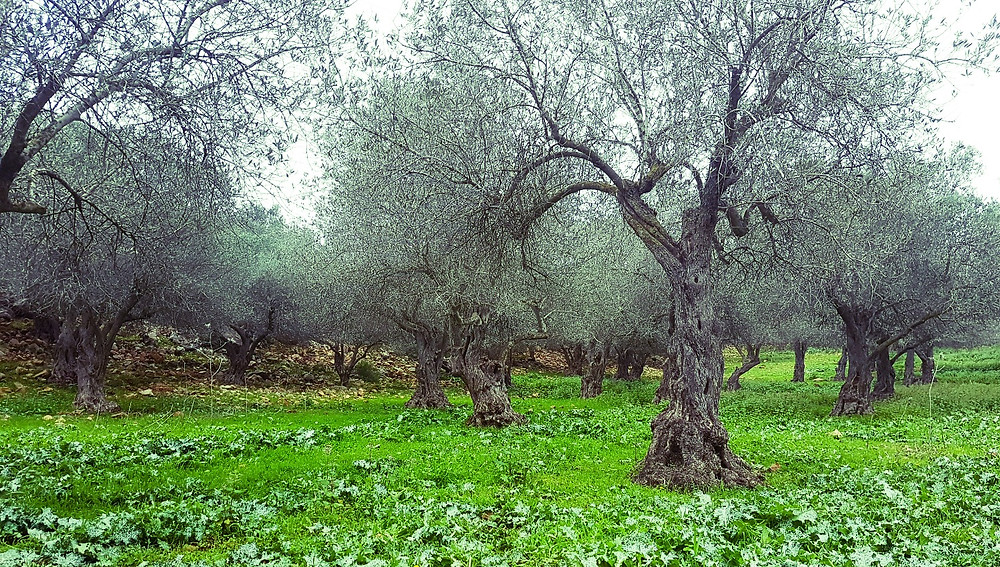 Olive Trees Grove (Albert Tour Guide Israel)