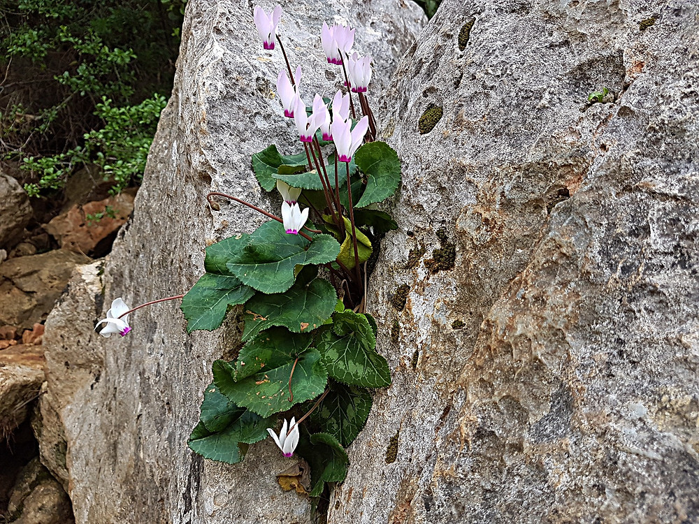 Cyclamens (Albert Tour Guide Israel)