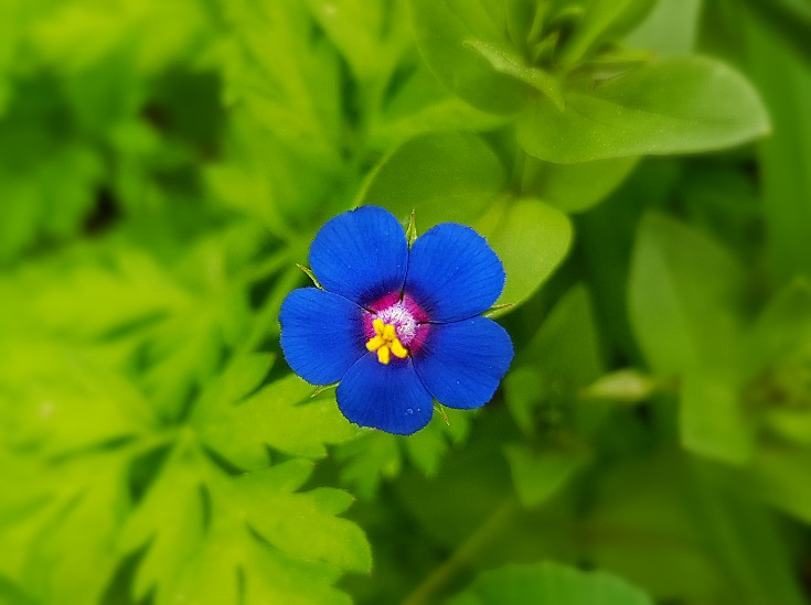 Blue-Scarlet Pimpernel (Albert Tour Guide Israel)