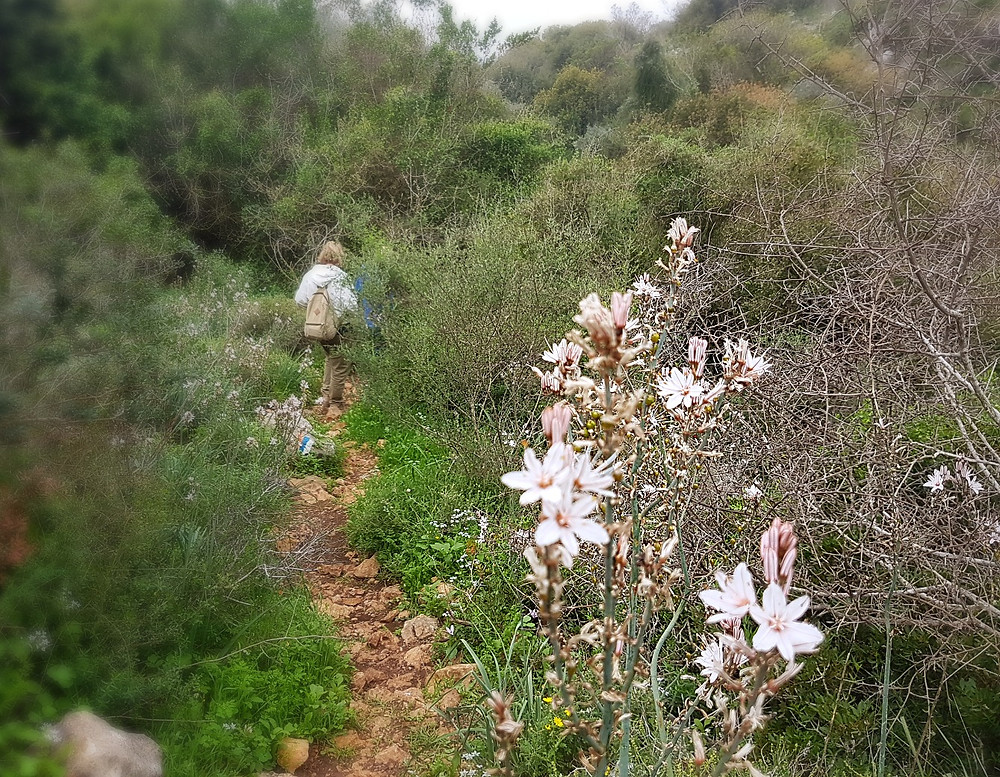 Asphodel (Albert Tour Guide Israel)