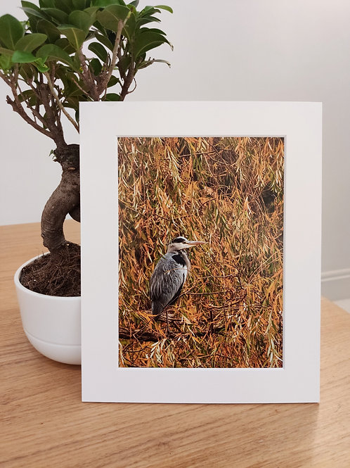 "Mounted Print - Grey Heron (10""x8"")"
