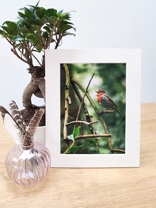 "Mounted Print - European Robin (10""x8"")"