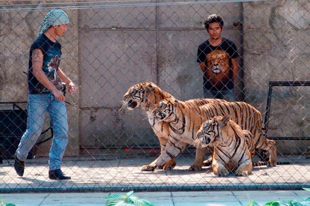 tiger_zoo_aquarium_samui_04_medium