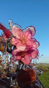 bevroren appelbloesem perenbloesem ijslaag