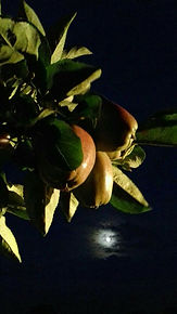 appels appelboom elstar