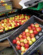 sorteren hardfruit appels en peren op gewichtsklasse en kwaliteitsklasse I en II