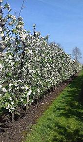 perenbloesem appelbloesem voorjaar perenboom appelboom betuwe