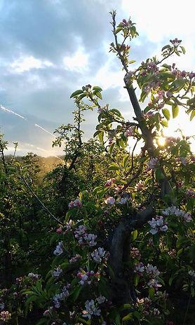Appelbloesem voorjaar Betuwe