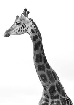 giraffe+4.jpg