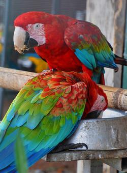 parrots+1.jpg