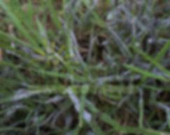 Slime Mold Atlanta Lawn