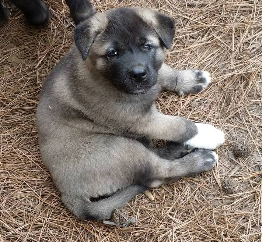 Female Akita Pup