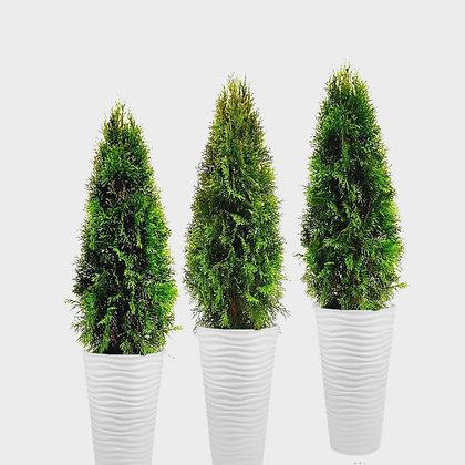 Живые деревья туя смарагд 100-120см аренда