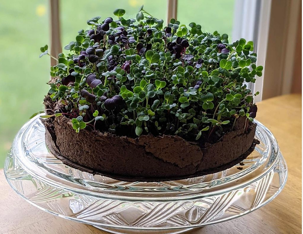 """a 9"""" paper pot/pan holds a lush growth of sprouts"""