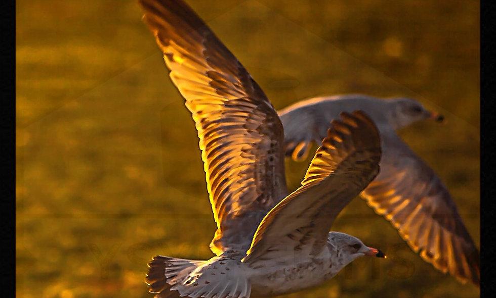 Golden Flight..... Sunset Shot of bird Flying post cards