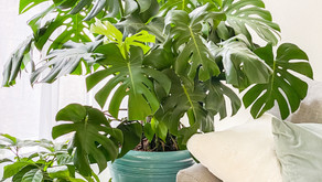 Plant Care 101: Everything You Need to Know About Monstera Deliciosa