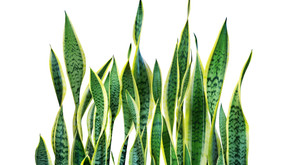 Plant Care 101: Everything You Need to Know About Snake Plants