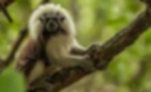 redskin monkey