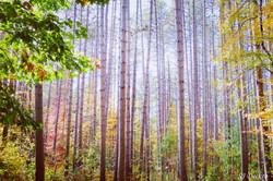 Golden Wood