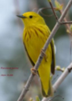 petit 05 Paruline jaune.JPG