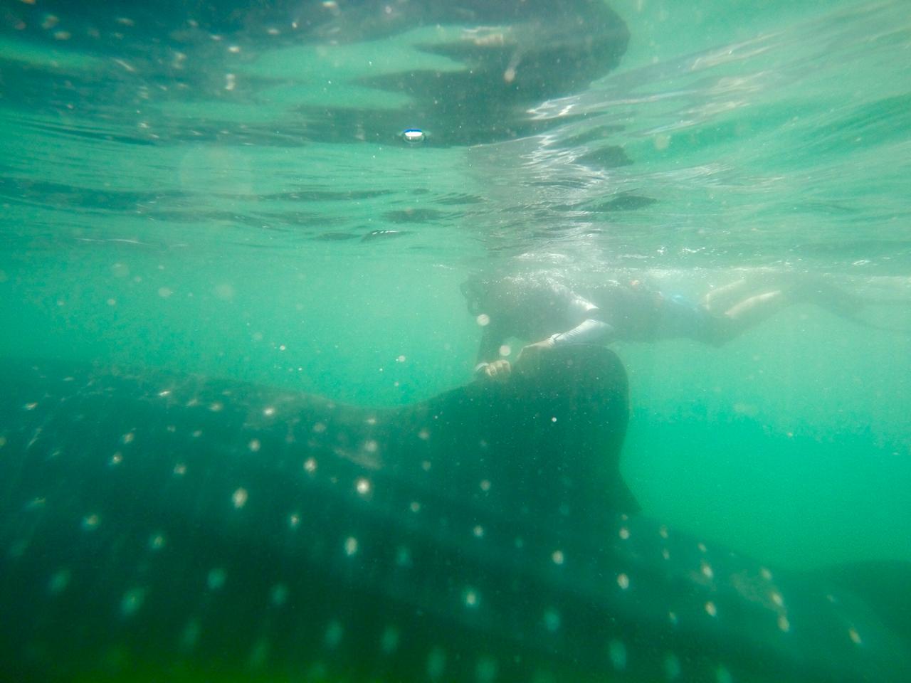 nado con el inofensivo tiburón ball