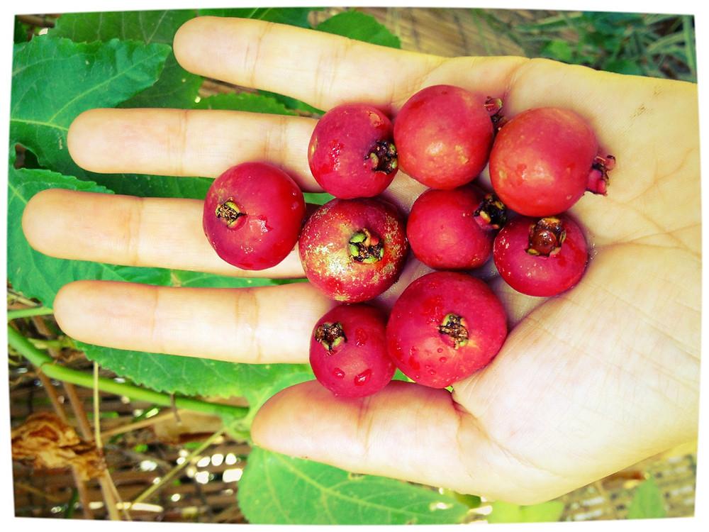 גויאבה תותית מעץ שלנו