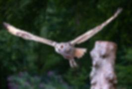 Muncaster Castle Owl