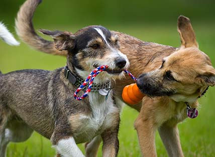 Doggy daycare at Companion Animal Clinic offers your pet the largest and safest playtime for your pet in the Cedar Valley.