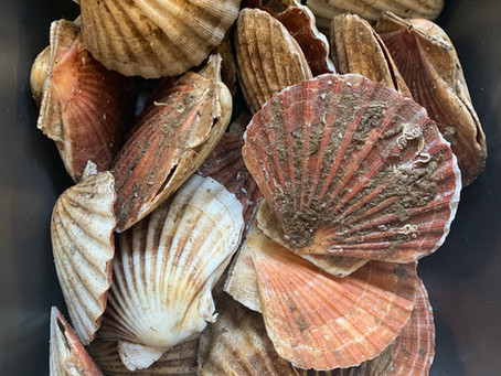 How to prepare king scallops at home
