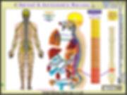 Spinal_20__20Autonomic_20Nerves.jpg
