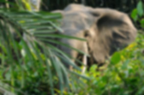 Forest_elephant.jpg