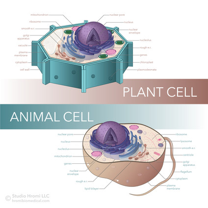 Plant and Animal Cell Comparison