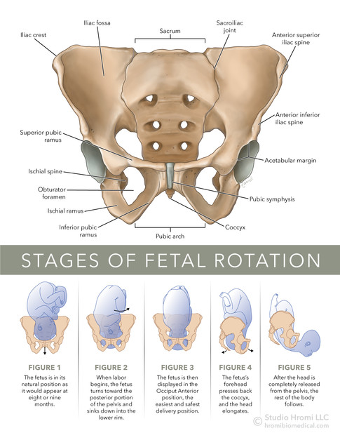 Stages of Fetal Rotation