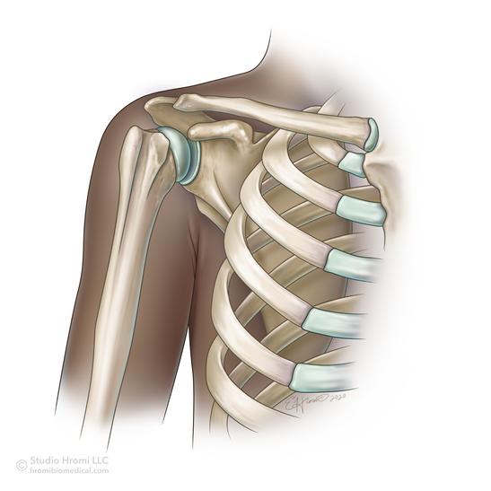 Shoulder, Anterior View