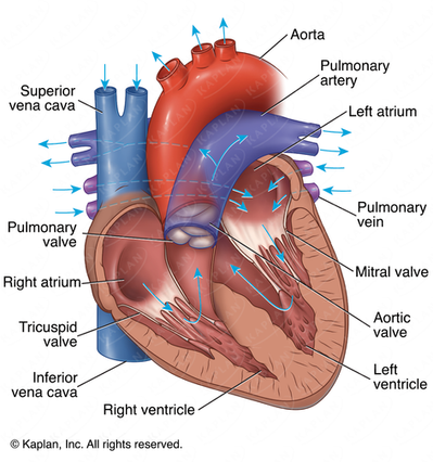 Blood Flow Through the Human Heart