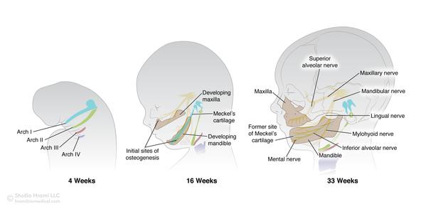 Embryological Jaw Development