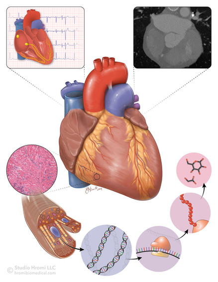 Multi-Scale Imaging of Human Heart