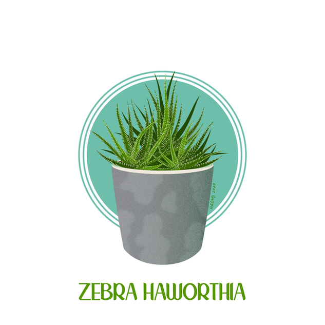 Zebra Haworthia