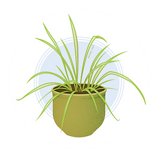 spiderplant.png