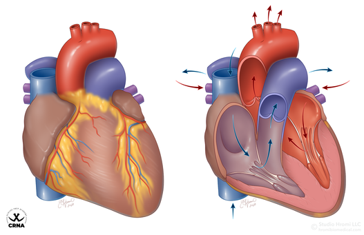 Anterior and Coronal Heart Anatomy