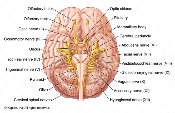 Inferior View of the Human Brain with Cranial Nerves