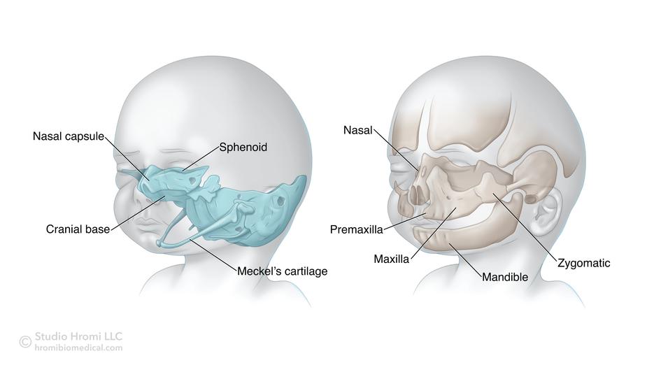 Craniofacial Development and Denovo Bone Formation