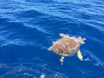 Turtle Naples FL