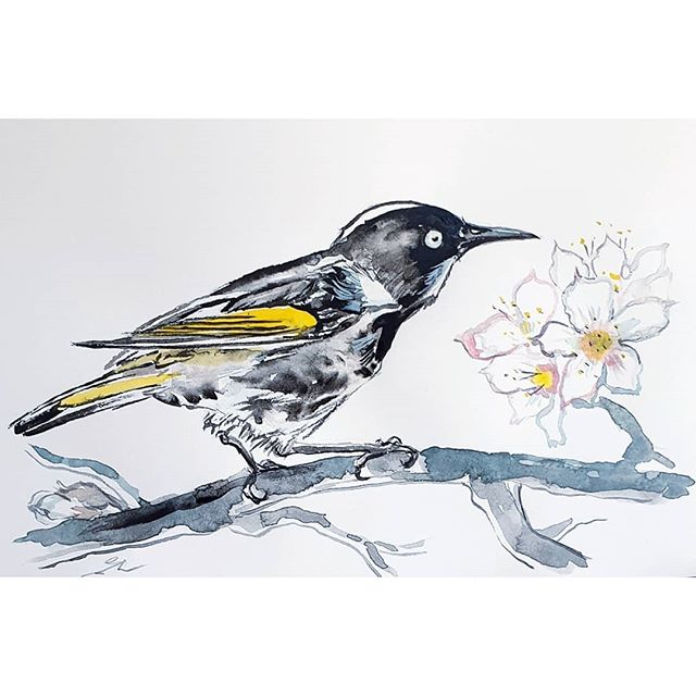 New Holland honeyeater (Phylidonyris nov