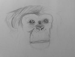 Chimpanzee - Lead Pencil Stage 1